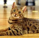 Bingle Cats