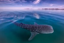 Whale Shark / by Visit Baja California Sur