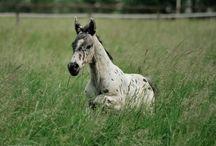 konie / o koniach fryzjerskich shire arabskich itd