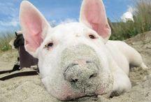 Bullies / Bull terrier pics