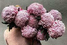 Dull grey lavender