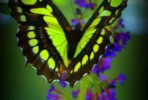 butterflies (live)