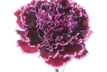 Carnations / How awesome are Nobbio (carnations)? Carnations have been getting more and more popular over the last few years, but these are bound to take that to the next level. It took decades to breed these in Italy and they are available now in the US in very limited quantities. So different and so cool. / by Flower Muse