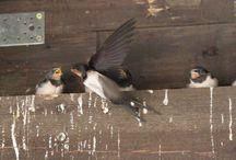Nasze przyjaciółki Jaskółki / Our swallow friends / Nasze przyjaciółki Jaskółki / Our swallow friends  www.kiermusy.com.pl