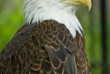 aguias