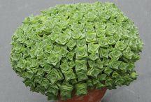 Crussulla socialist / Succulents