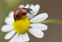 ♡ Ladybug ♡