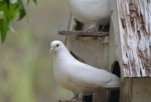 Fantails & Dovecotes / The search for a dovecote to buy or make so I can keep fantail pigeons.