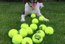 Springer spaniel / For the love of tennis balls