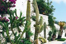 Cactus succulente
