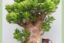 majomfa bonsai