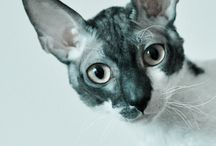 Cornish rex- Kawaii Cat