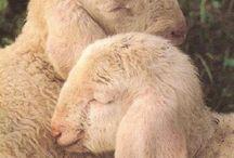 Lambs, Goats and Sheep