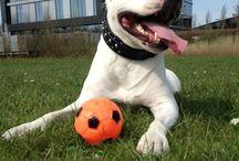 Bonkar (CEO of www.Staffs-Exclusives.com) / Staffordshire Bull Terrier: Bonkar. CEO of www.Staffs-Exclusives.com