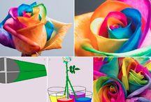 szivárványszínű rózsa
