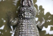 ワニ / ワニ(鰐、鱷)は、ワニ目(ワニもく、学名:ordo Crocodilia) に属する、肉食性で水中生活に適応した爬虫類の総称。  中生代三畳紀中期に出現して以来、初期を除く全ての時代を通して、ニシキヘビ等の大蛇と並び、淡水域の生態系において生態ピラミッドの最高次消費者の地位を占めてきた動物群である。