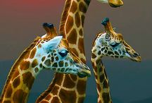 Giraffes / by Staci Michelle