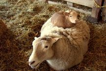 Sheep do the funniest things