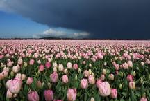 Dutch Tulips Fields