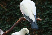 Grote Vruchtenduiven. Ducula en Treron. / Grote vruchtenetende duiven van de wereld.