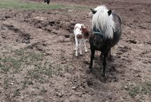 Daisy's first filly foal / 2 days old