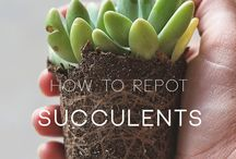 How to repot succelents