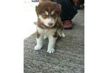 Jual Siberian Husky Long Hair