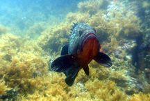 Buceo en Xàbia / Xàbia es uno de los destinos de buceo más importantes del Mediterráneo. Sus 25 kilómetros de costa, la existencia de una Reserva Marina, la variedad de sus fondos y la riqueza de fauna y flora submarina la convierten en un pequeño paraíso para los amantes del submarinismo.
