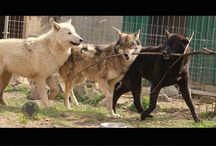 Film Working Wolves / Filmtiere Wölfe Die offizielle Agentur für die Bereitstellung von Filmtieren | Film Wölfen. Wir sind Tiertrainer | Filmemacher | Mediengestalter. Unsere Film Wölfe haben bereits in zahlreichen Kino und TV-Produktionen mitgewirkt. Sie sind Kameras und Menschen gewohnt. Wir besitzen die Genehmigung für das zur Schau stellen unserer Tiere nach dem Tierschutzgesetz § 11, sowie Transportgenehmigungen. Eingehende Anforderungen werden von uns valutiert | trainiert und auf Wunsch digital festgehalten
