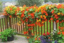 Condurași ( Colțunași, Condurul- Doamnei, Caneluță, Năsturași...) ) / Toate părțile plantei sunt comestibile (semințele, florile și frunzele). Frunzele, care au o aromă răcoritoare, ușor picantă, sunt folosite în salate, supe, sosuri. Florile sunt folosite pentru decorarea garniturilor din legume, a prăjiturilor, salatelor etc. Fructele necoapte pot fi murate și folosite în loc de capere.