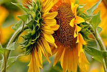 Sunflowers / This board is all about sunflowers. We love sunflowers..