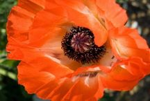 Flowers: Poppies