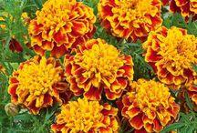 Semences d'antan / Venez redécouvrir les semences d'antan pour un magnifique jardin et un beau potager. Vous pouvez également acheter ces semences en ligne sur : http://www.jardinerie-bergon.fr/381-semence-d-antan