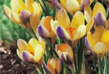"""Crocuses / """"Crocus"""" is the plural of Crocuses or Croci, and it's usually considered the """"happy"""" and """"cheerful"""" flower. Crocus come from the Iris family and there are 90 species of perennials growing from corms. This type of flower blooms in the early spring season and it has to grow in cold to moderate winter climate, they will fail to grow in warm or high temperatures.  This flower is native to the Orient, Europe and Northern part of Africa.  Crocuses can turn a garden in spring in a small sea of color!"""