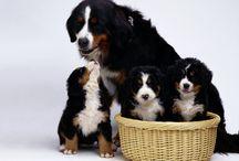 Bereńskie Psy Pasterskie