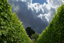 Great English Vineyard Pictures / Vineyards we've photographed and others where we just love the image.