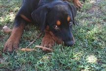 Rottweilers / Aww so gentle