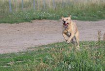 Lupo / Das ist unser Hund Lupo, ein Labrador-Mix, ca. 5,5 Jahre alt und seit 2011 ist er bei uns...