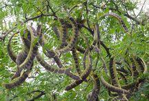 Гледичия / Гледичия трехколючковая, или Гледичия обыкновенная (лат. Gleditsia triacanthos) — вид деревьев из рода Гледичия (Gleditsia) семейства Бобовые (Fabaceae)