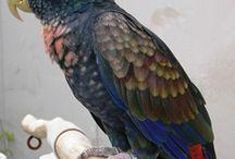 """Pionus / Appartengono al genere pionus alcuni pappagalli sudamericani dalle forme compatte: il termine """"pionus"""" deriva infatti dal greco e significa proprio """"compatto"""". Tutte le sette specie di pionus presentano l'anello perioftalmico nudo, il piumaggio generalmente brillante, la coda non molto lunga e a forma di spatola, e sono privi di dimorfismo sessuale."""