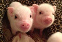 I Love Pigs!