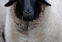 овцы и совы