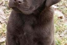 Chocolate labrador puppies
