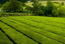 Le thé Portugais des Açores / Christine  Dattner la French touch du thé depuis 35 ans www.christinedattner.com