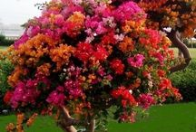bougainville tree