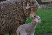 Merino Wool / Showing the beauty of Merino Wool - the most amazing fabric ever invented