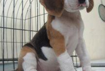 #beagles