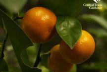 Fruit & Citrus / Fruit trees, citrus and all other garden fruit.