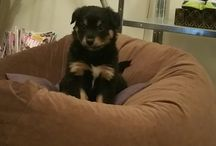 My dogs new & past. Diesel,one spoilt border collie x kelpie pup and Kobi the ultimate rotti x heeler♡♡♡.