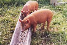 Pork Tails